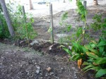 new bamboo planted along fence