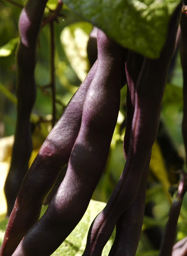 purple potted pole bean