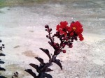 Black Diamond crepe myrtle first blooms